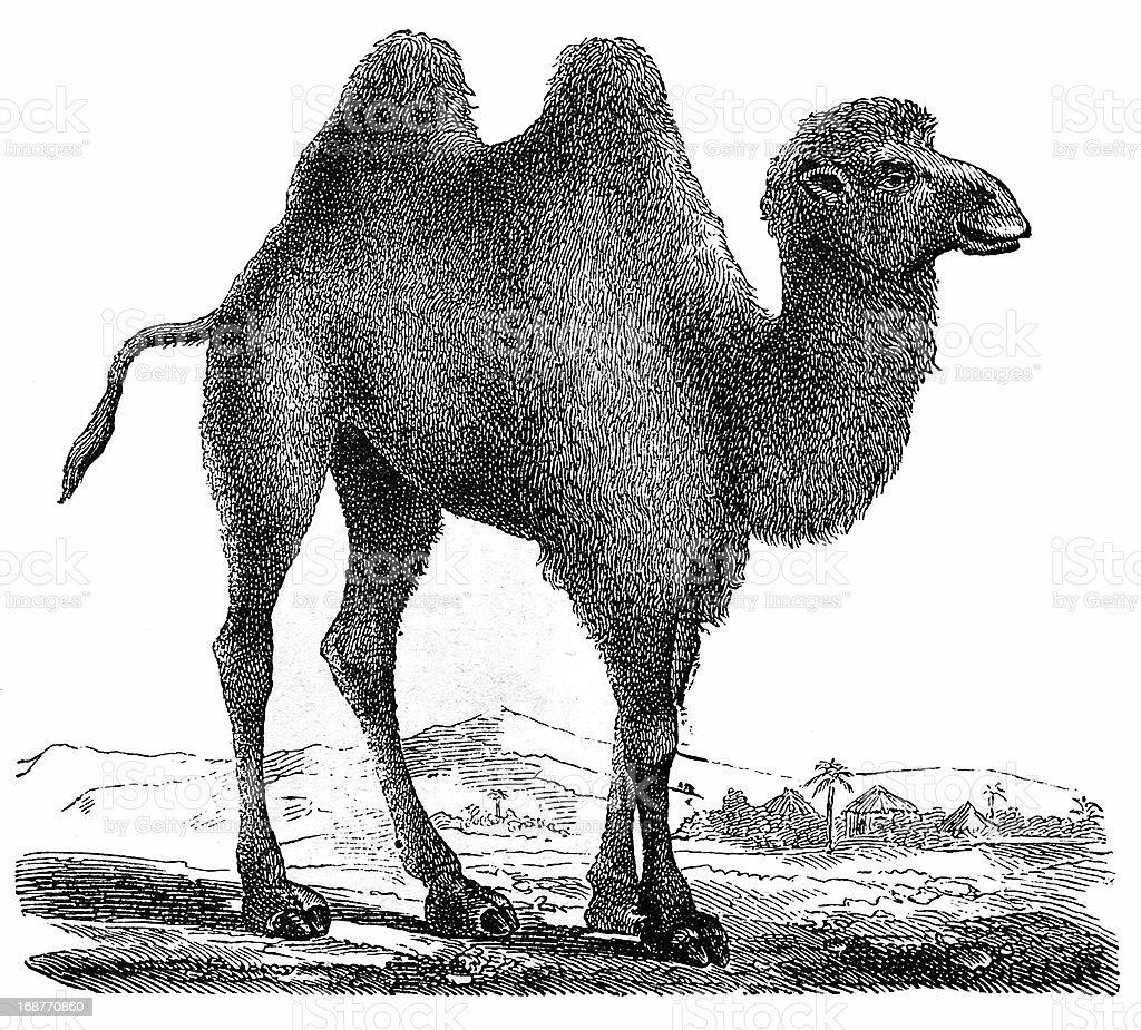 Bactrian Camel (Camelus Bactrianus) vector art illustration