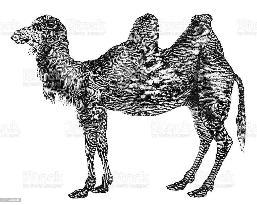 Bactrian camel vector art illustration