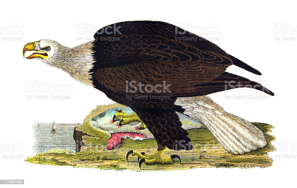 Bald Eagle Engraving royalty-free stock vector art