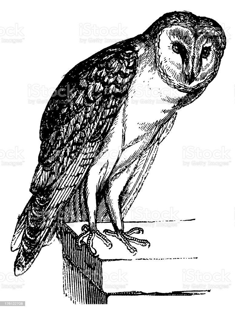 Barn owl | Antique Bird Illustrations royalty-free stock vector art