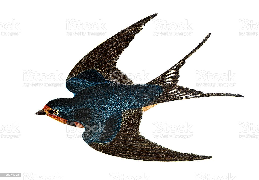 Barn Swallow - Hand Coloured Engraving vector art illustration