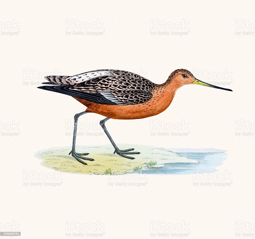 Bar-tailed godwit bird 19 century illustration vector art illustration