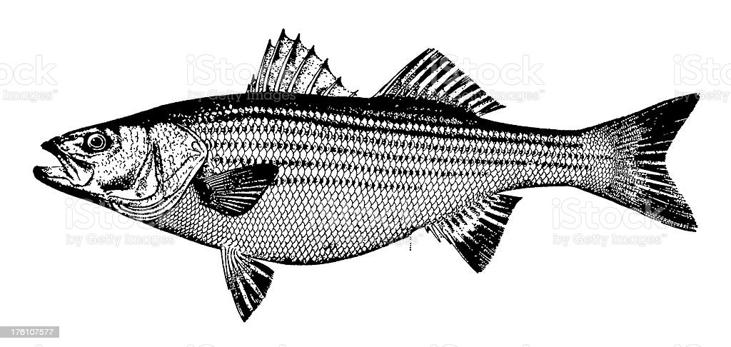 Bass | Antique Animal Illustrations royalty-free stock vector art