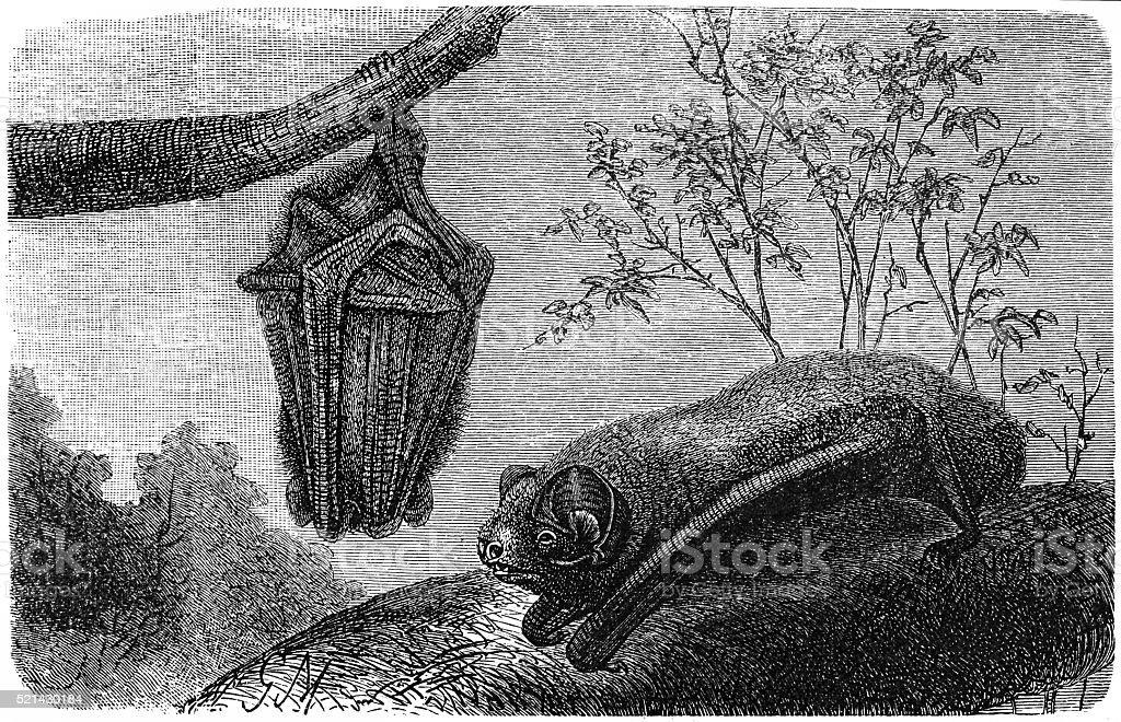 Bat - Chauve Souris - Vesperugo Noctula vector art illustration