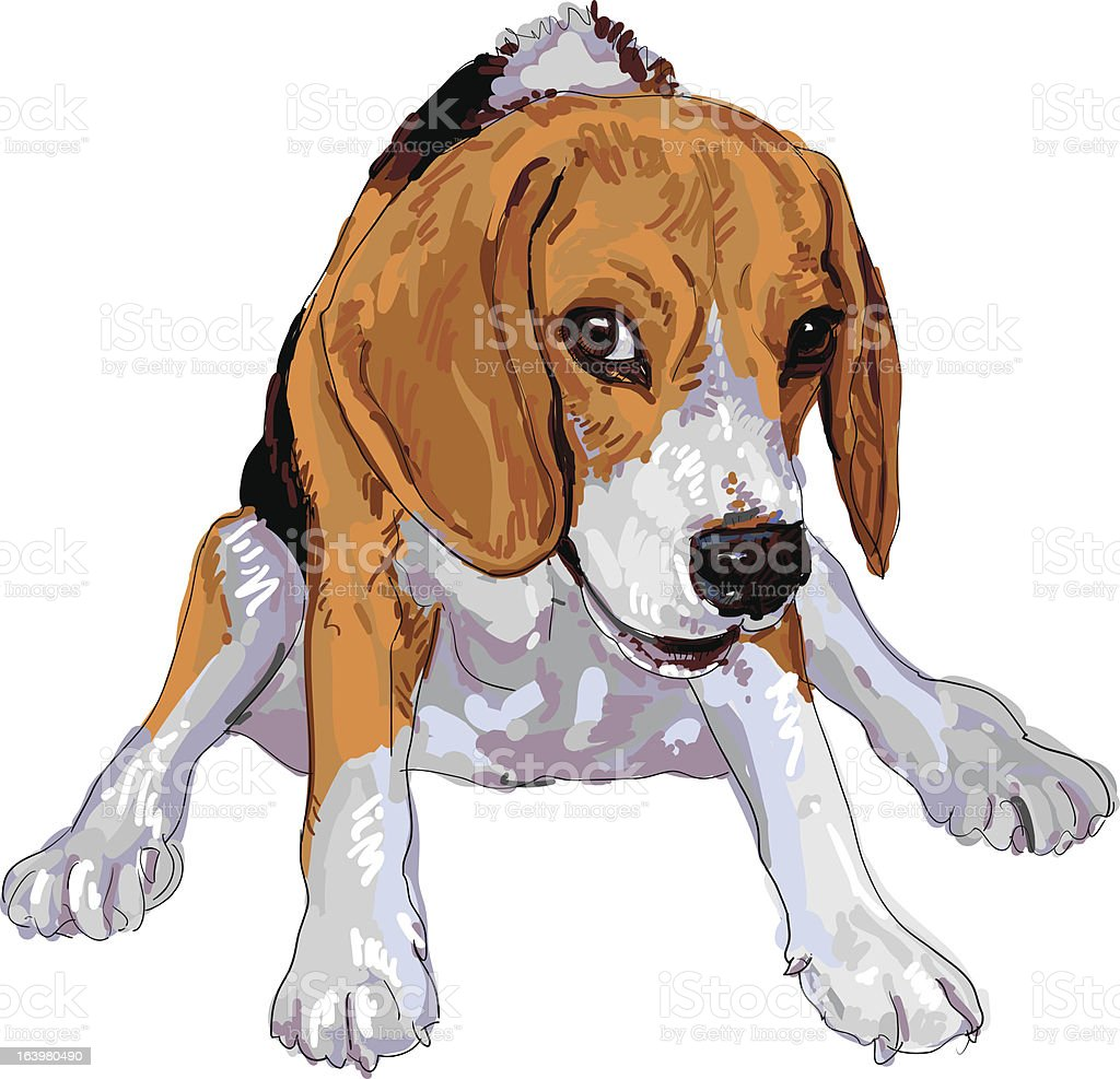 Beagle is sitting with funny pose. royalty-free stock vector art