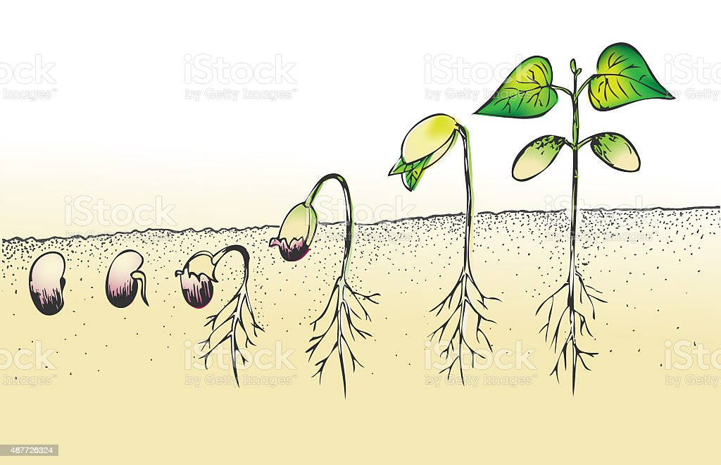 bean seed germination isolated on white vector art illustration