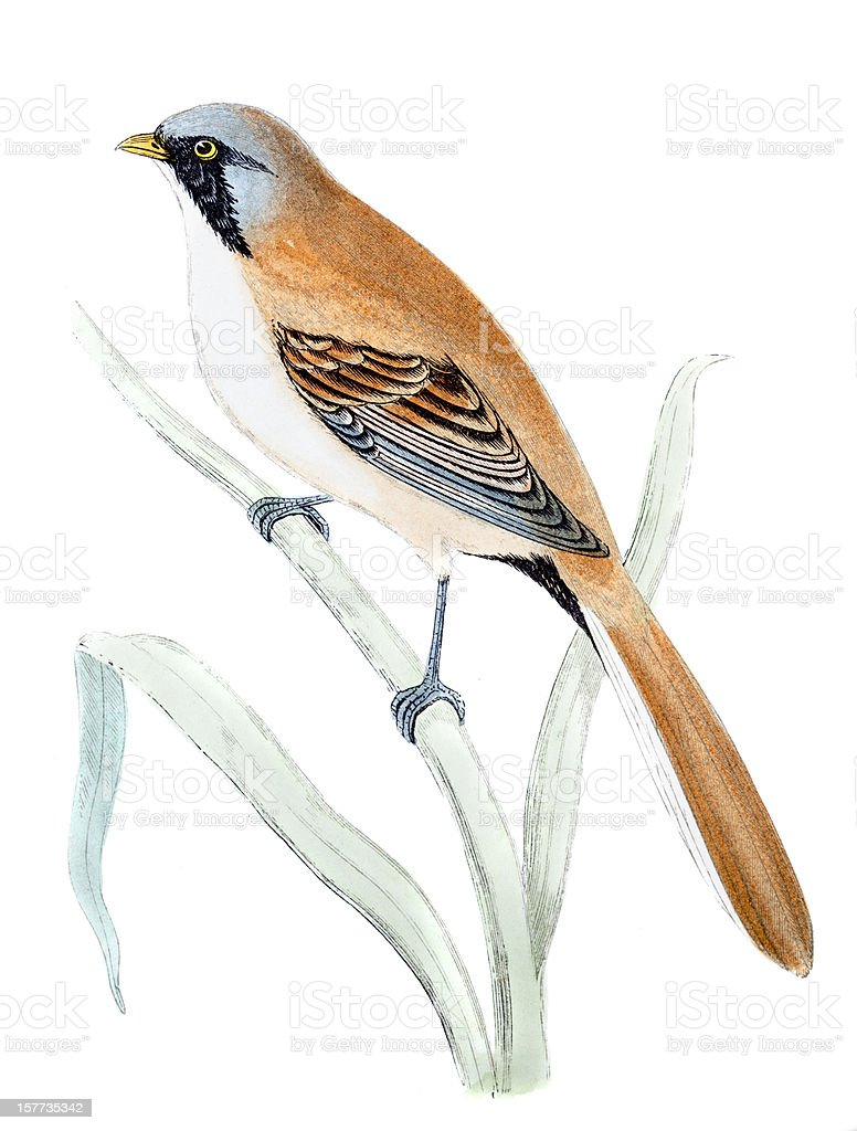 Bearded Tit - Hand Coloured Engraving royalty-free stock vector art