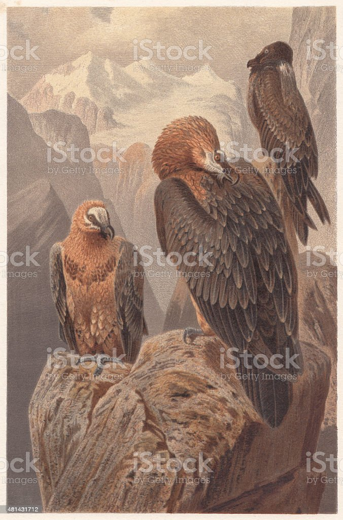 Bearded vultures (Gypaetus barbatus), lithograph, published in 1882 vector art illustration