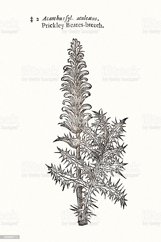 Bear's Breech Acanthus plant 17 century botanical vector art illustration