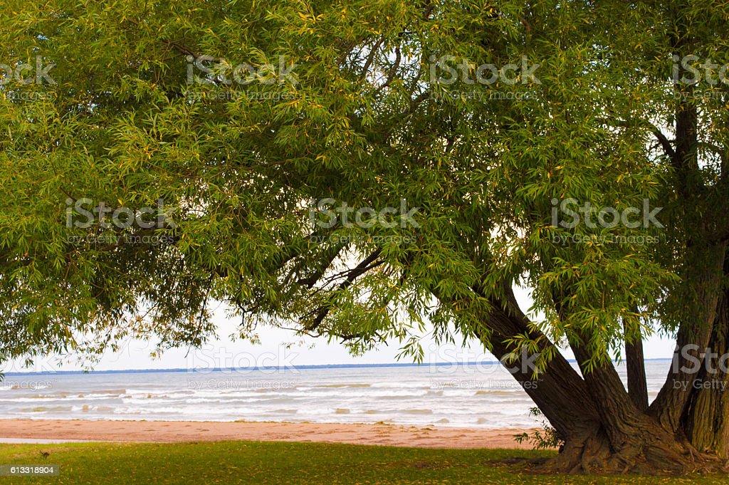 Beautiful old tree on the shore of Lake Huron vector art illustration