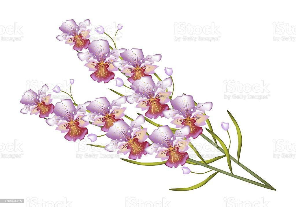 Beautiful Vanda Orchid Isolated on White Background royalty-free stock vector art