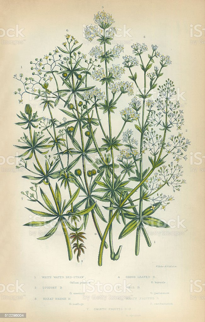 Bedstraw, Galium, Heath, Victorian Botanical Illustration vector art illustration
