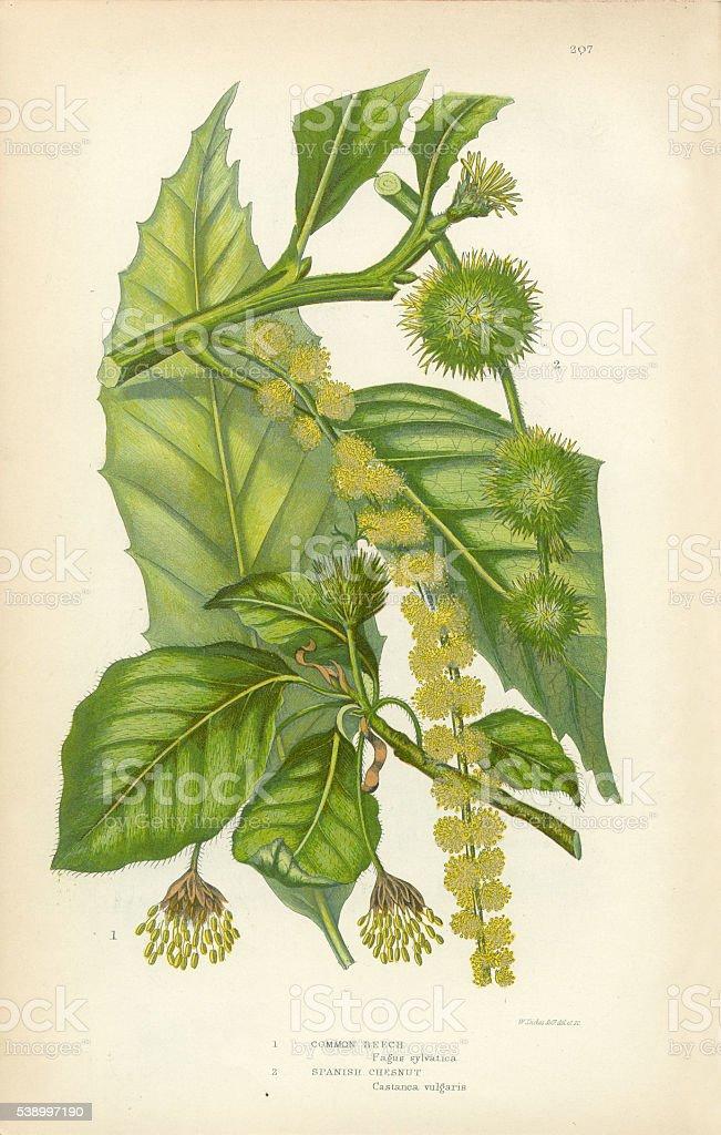 Beech, Chestnut, Spanish Chestnut, Victorian Botanical Illustration vector art illustration