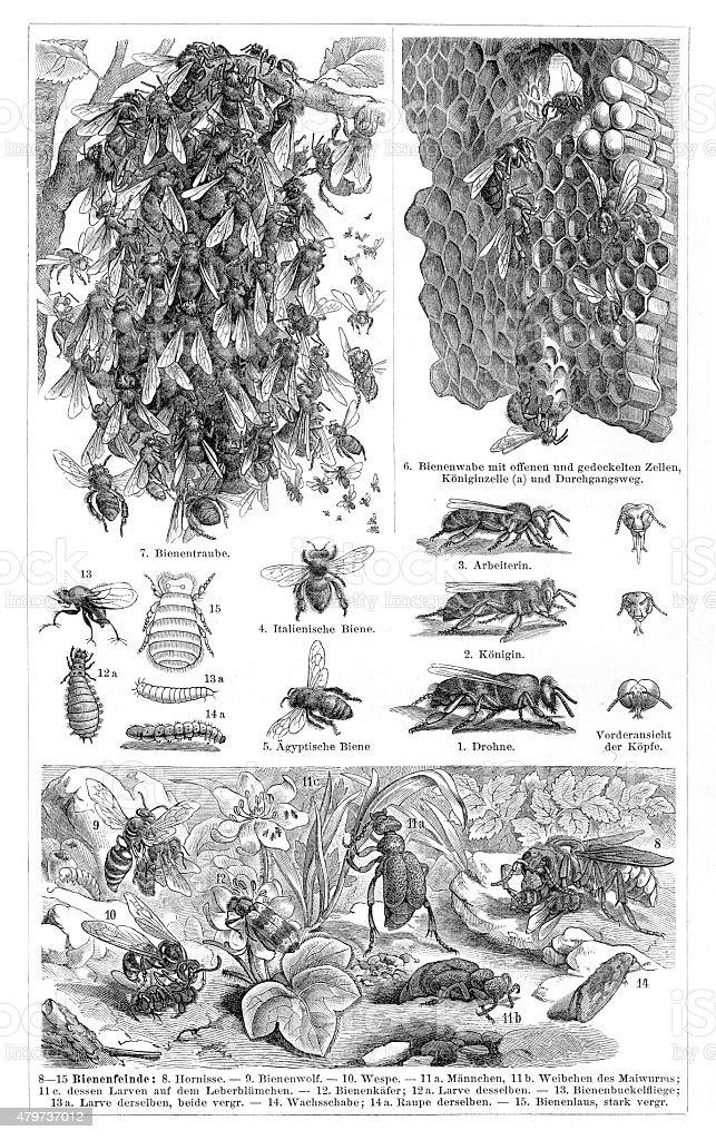 Bees engraving 1897 vector art illustration