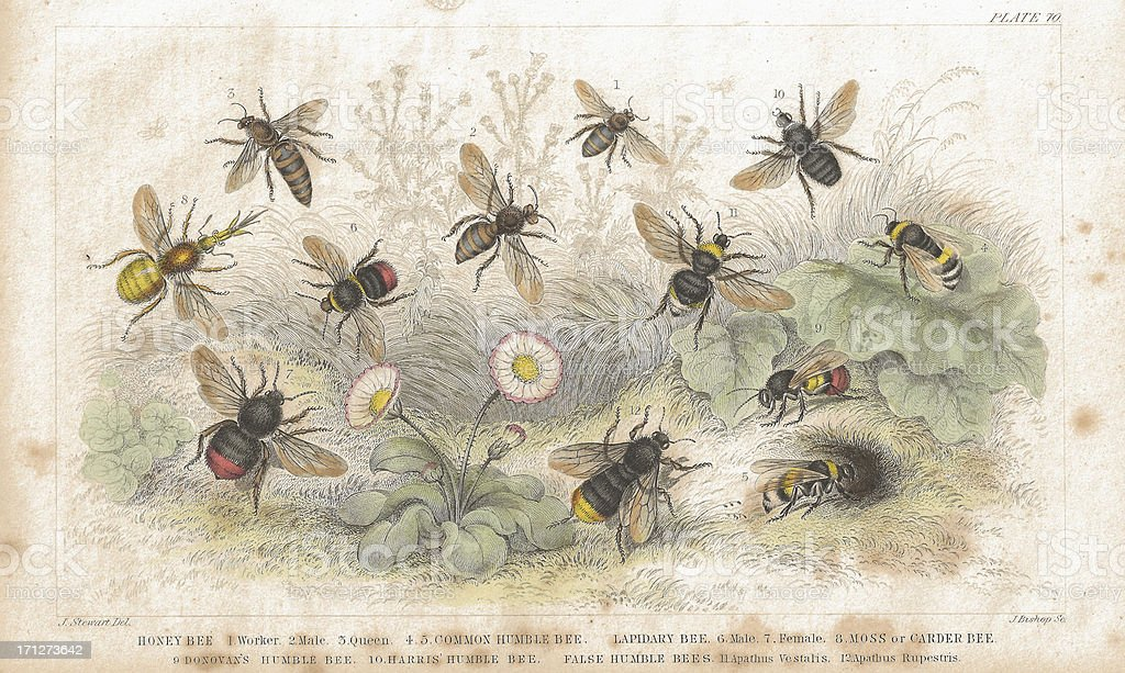 Bees old litho print from 1852 vector art illustration
