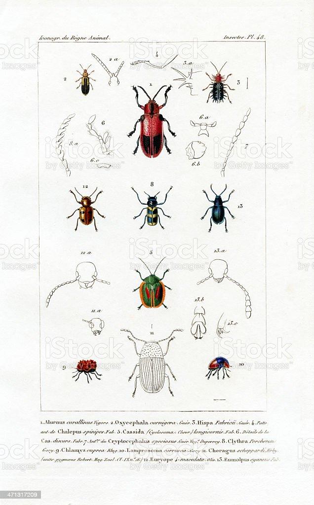 Beetles, antique scientific print, 1834 royalty-free stock vector art