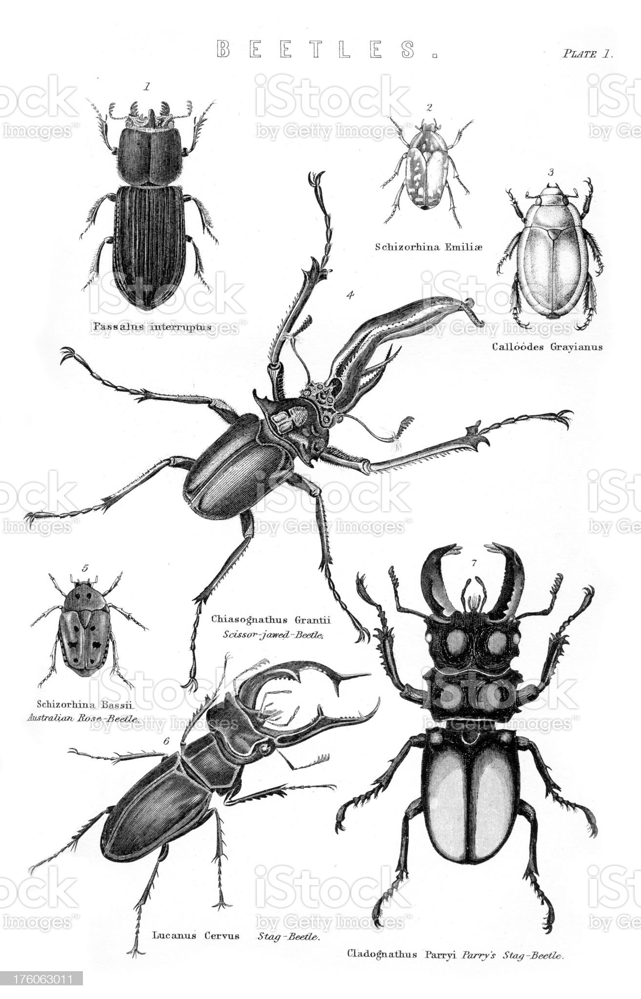 Beetles - lucanus cervus royalty-free stock vector art