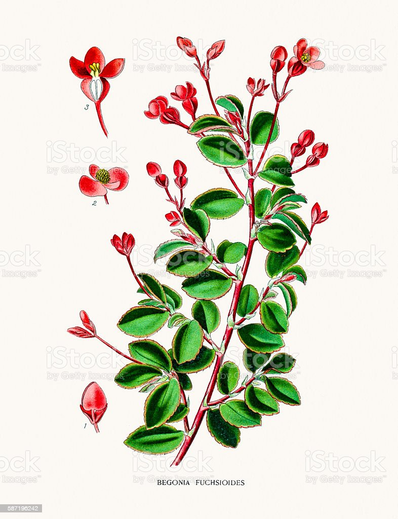 Begonia flower vector art illustration