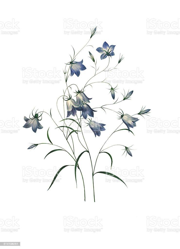 Bellflower   Redoute Flower Illustrations vector art illustration