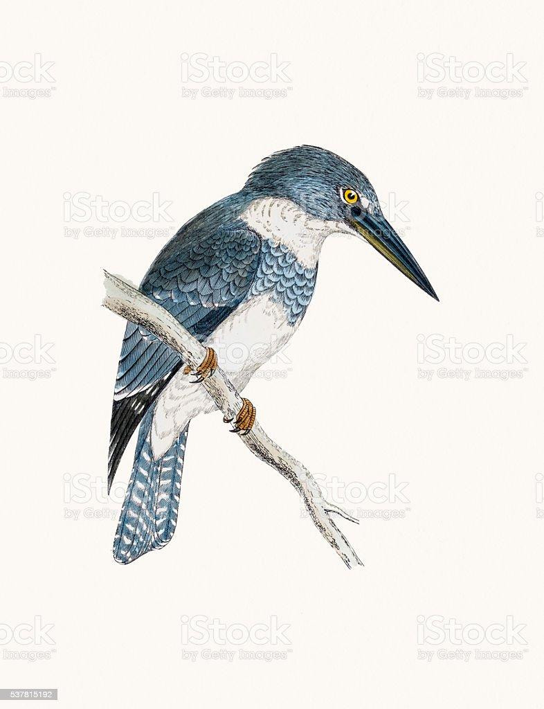 Belted kingfisher bird vector art illustration