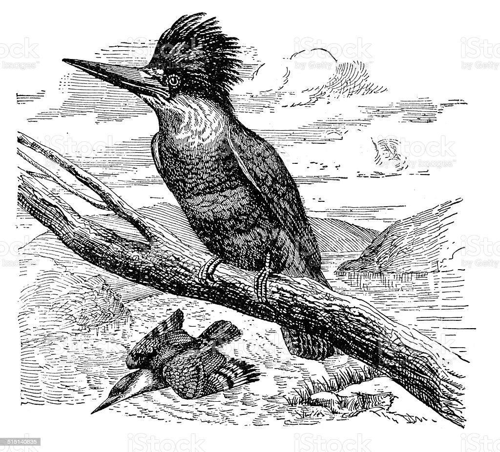 Belted Kingfisher vector art illustration