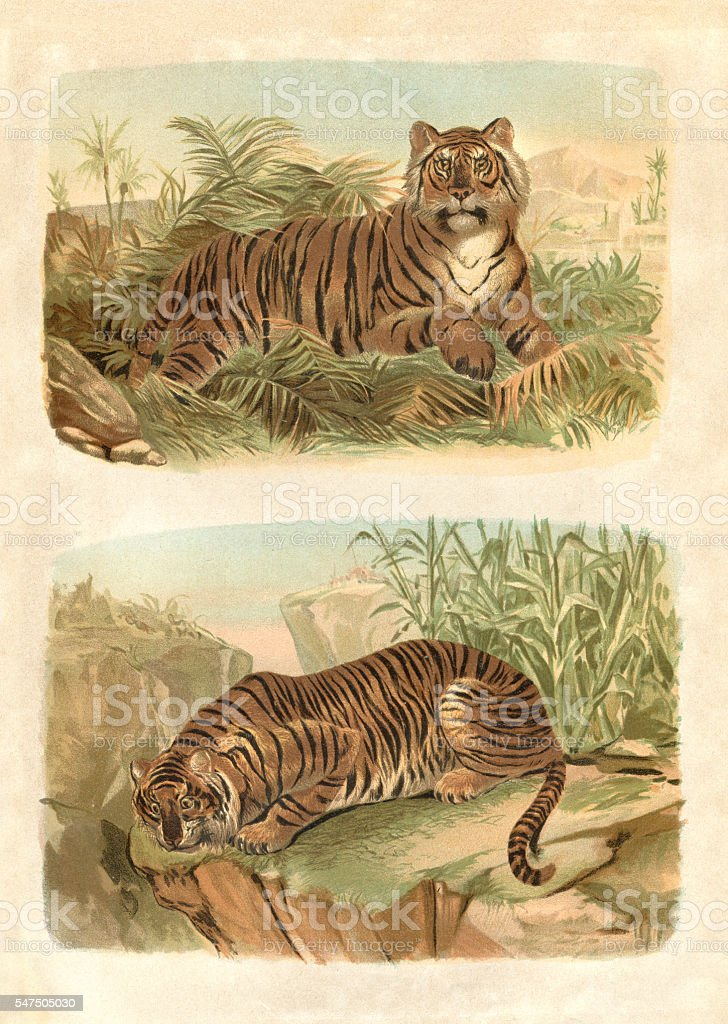 Bengal King Tiger engraving 1880 stock photo
