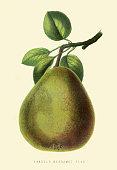 Bergamot Pear illustration 1874