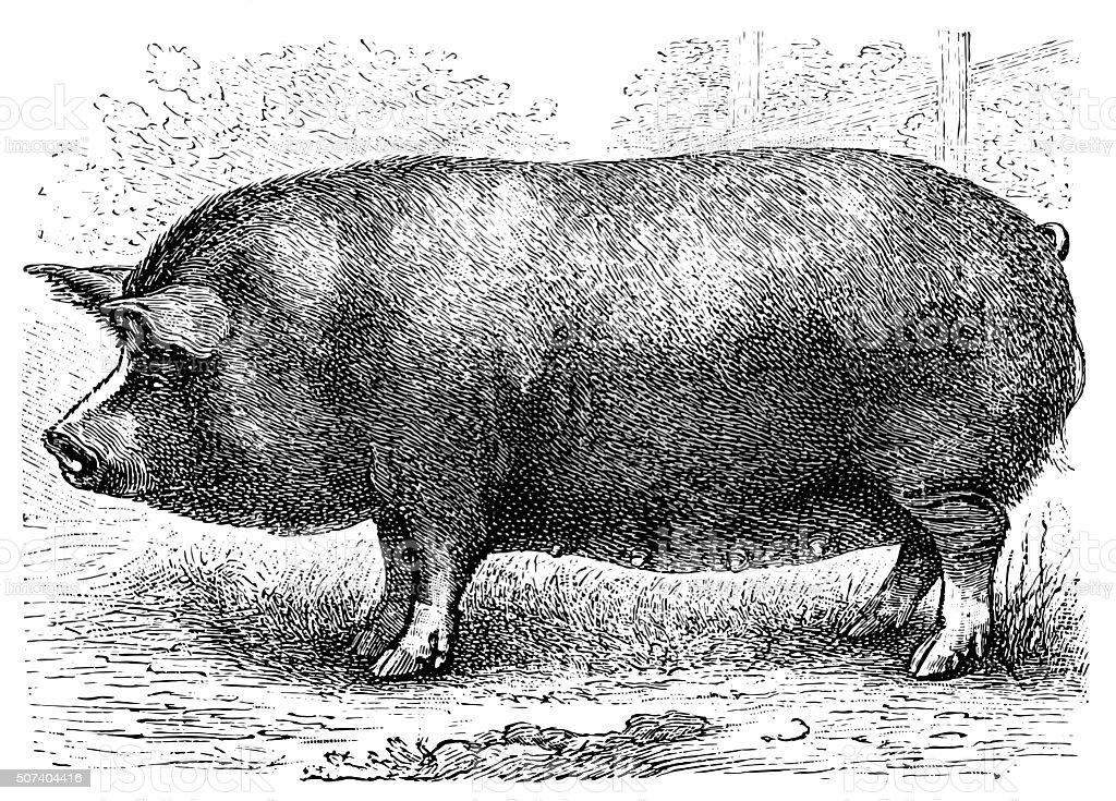 Berkshire pig vector art illustration