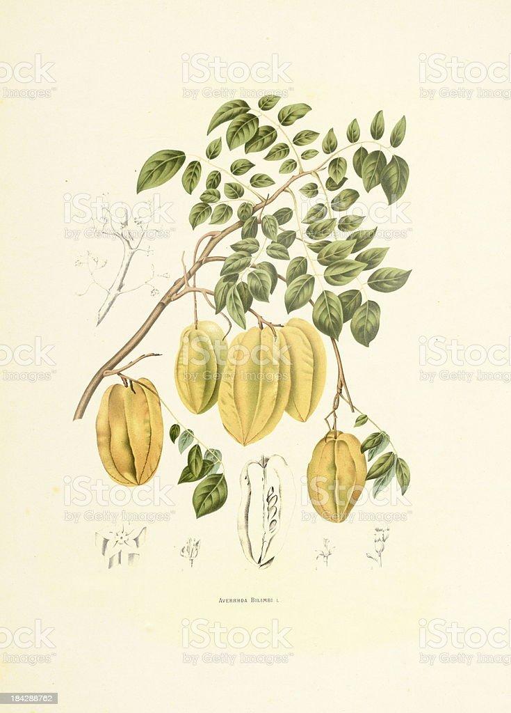 Bilimbi | Antique Plant Illustrations vector art illustration