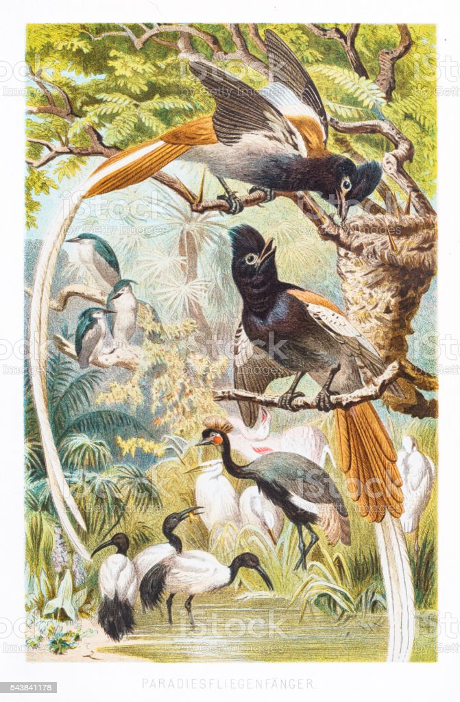 Bird of Paradise 1882 vector art illustration