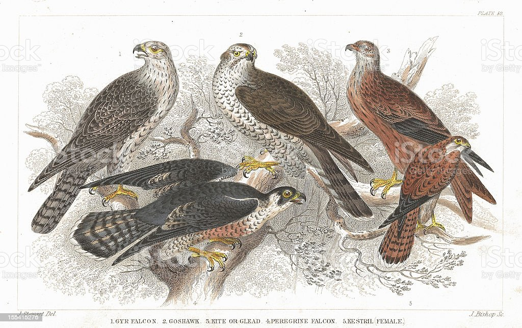Bird of Prey old litho print from 1852 vector art illustration