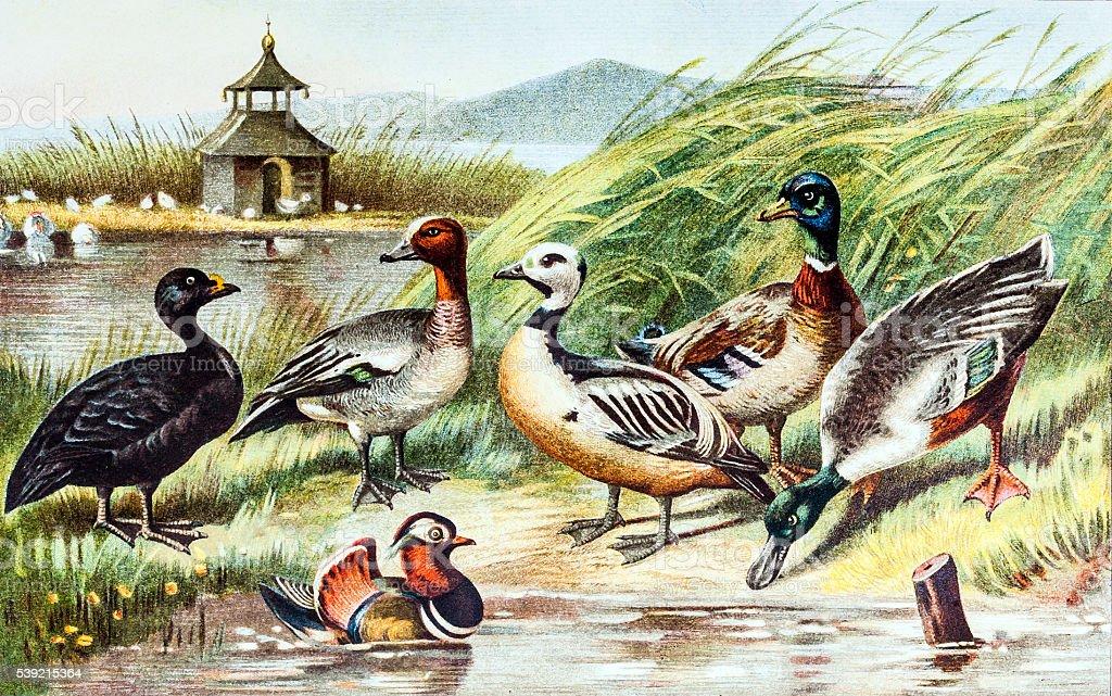 Birds - Ducks vector art illustration