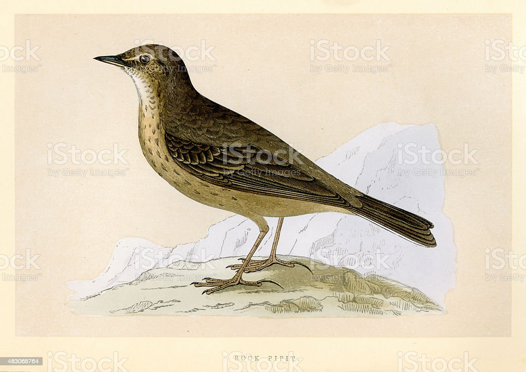 Birds - Eurasian rock pipit - Anthus petrosus vector art illustration