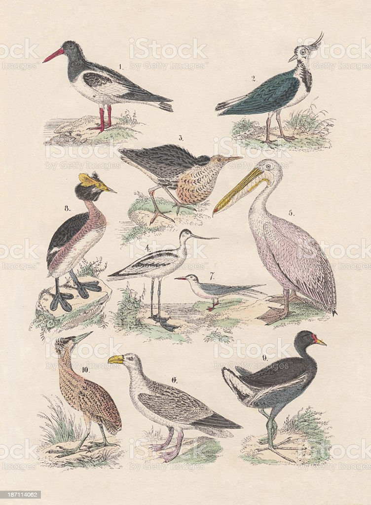 Birds, hand-colored lithograph, published in 1880 vector art illustration