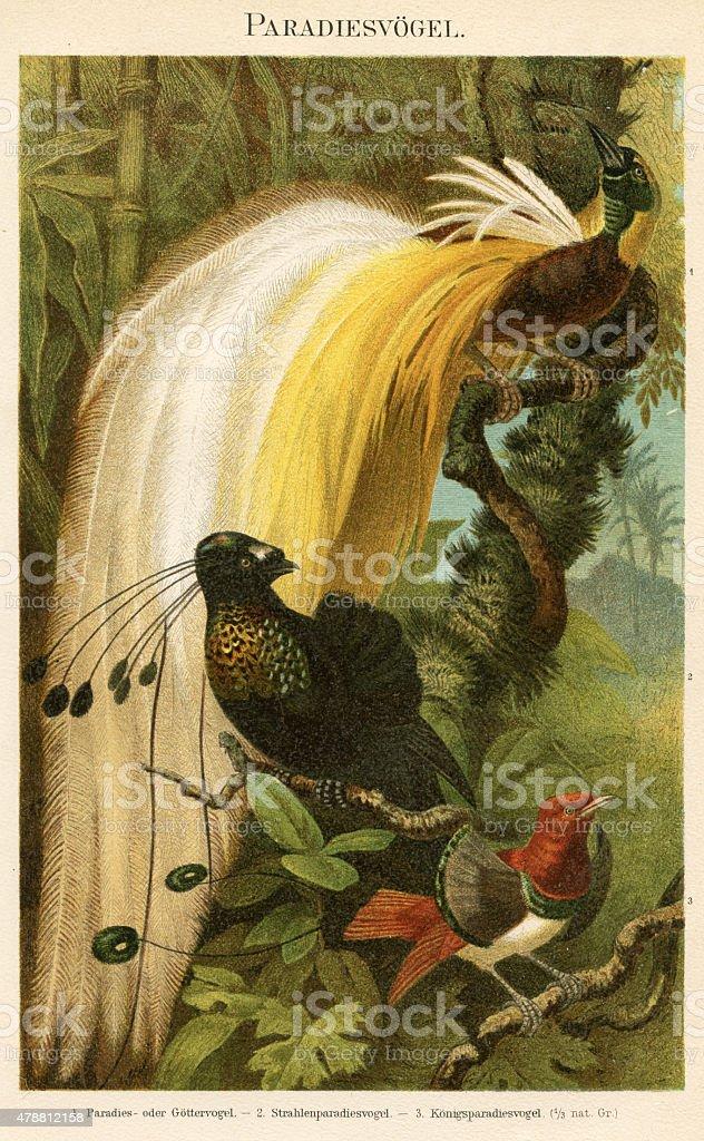 Birds of paradise 1895 vector art illustration