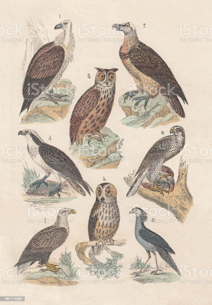 Birds of prey, hand-colored lithograph, published in 1880 royalty-free stock vector art