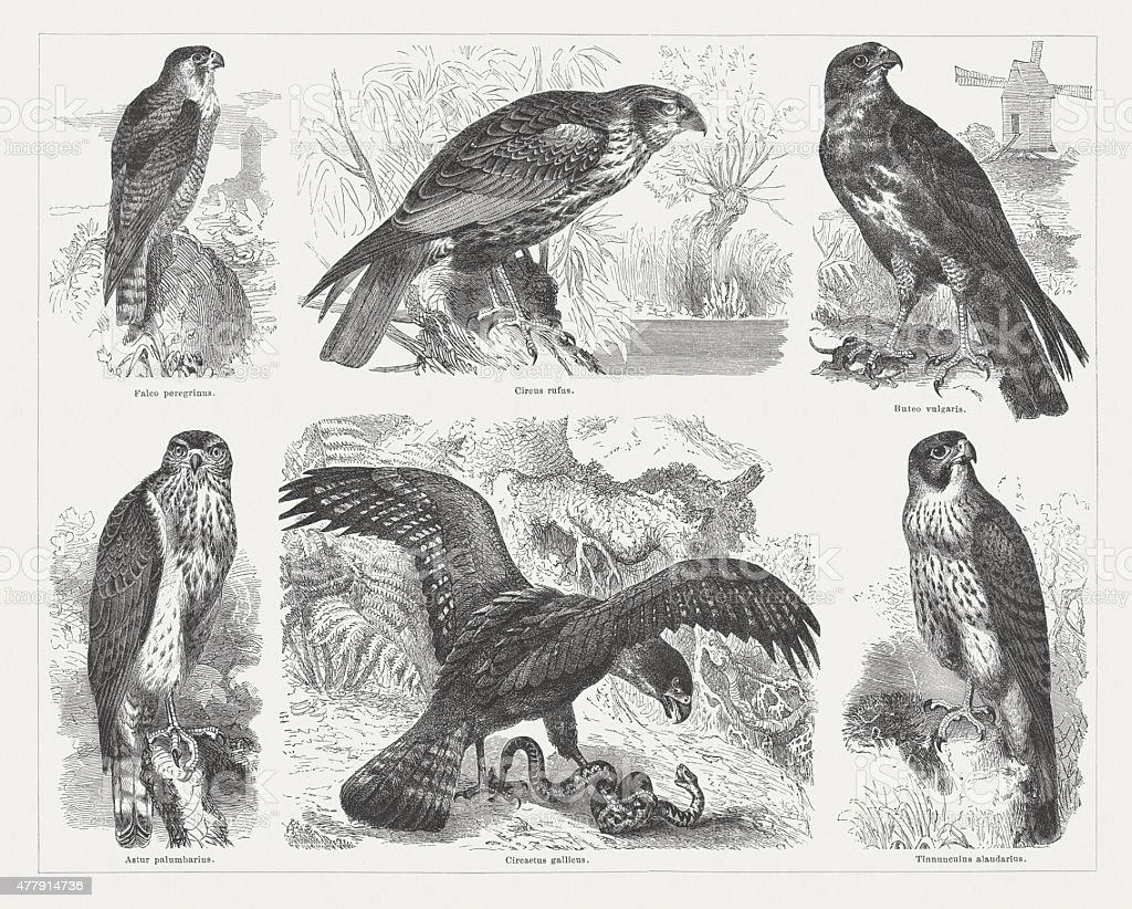 Birds of prey, wood engravings, published in 1878 vector art illustration