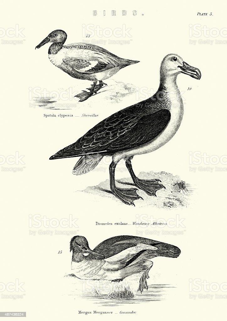 Birds - Shoveller, Wandering Albatross, Goosander vector art illustration