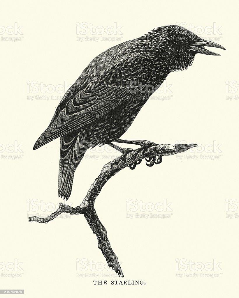 Birds - Starling vector art illustration