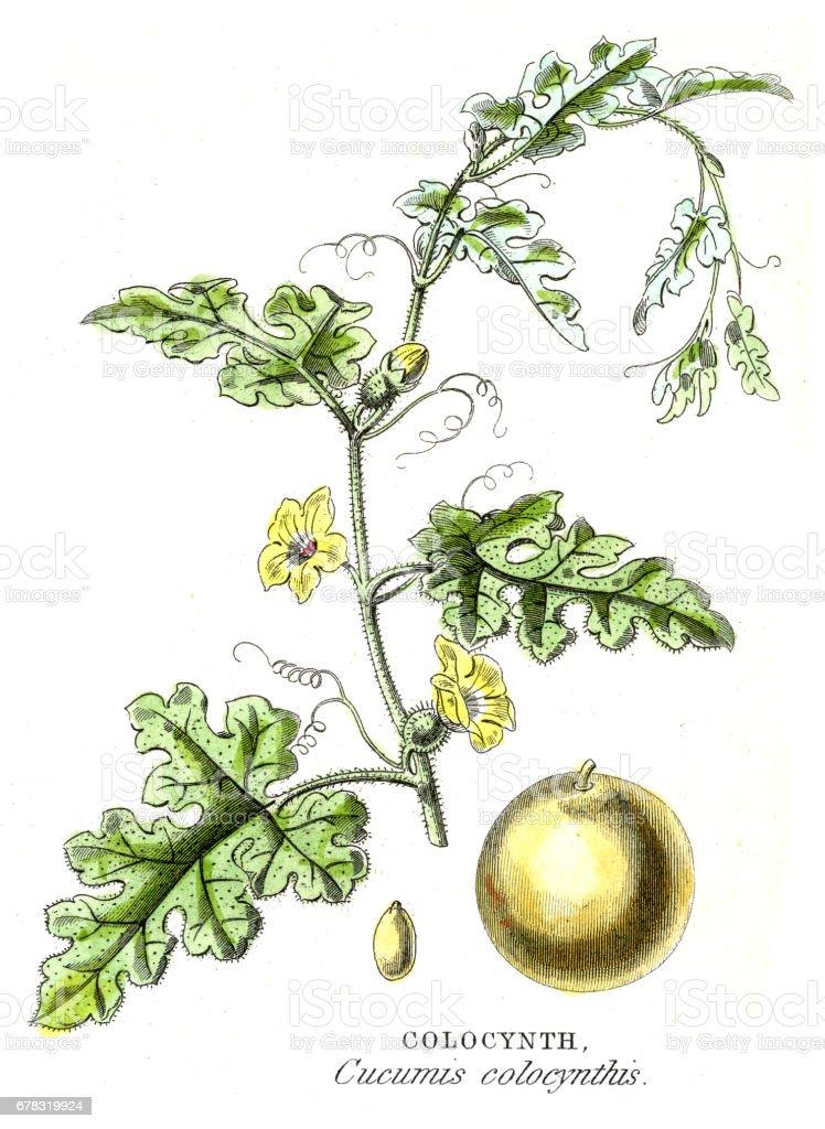 Bitter cucumber botanical engraving 1857 vector art illustration