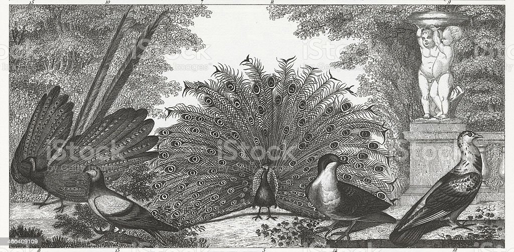 Black and white engraved image of peacocks and gamebirds. vector art illustration
