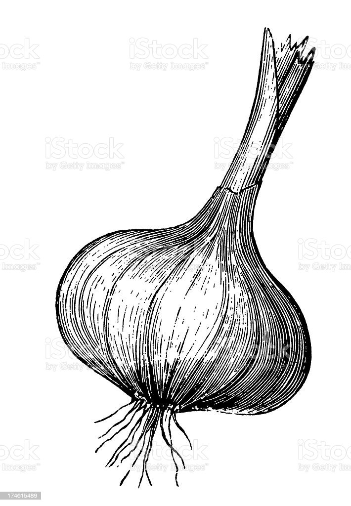 Black and white illustration of bulb of garlic royalty-free stock vector art