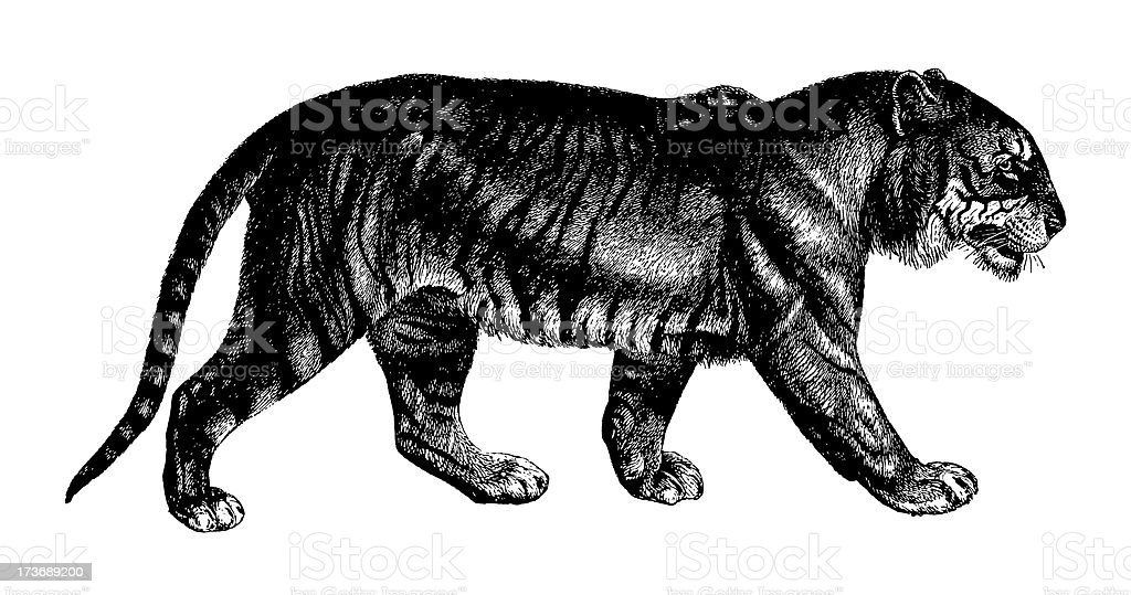 Black and white illustration of tiger on white background royalty-free stock vector art