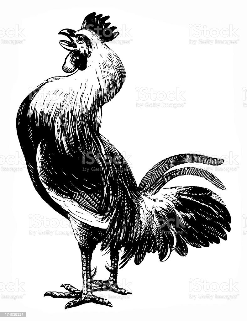 Black and white rooster on white background vector art illustration
