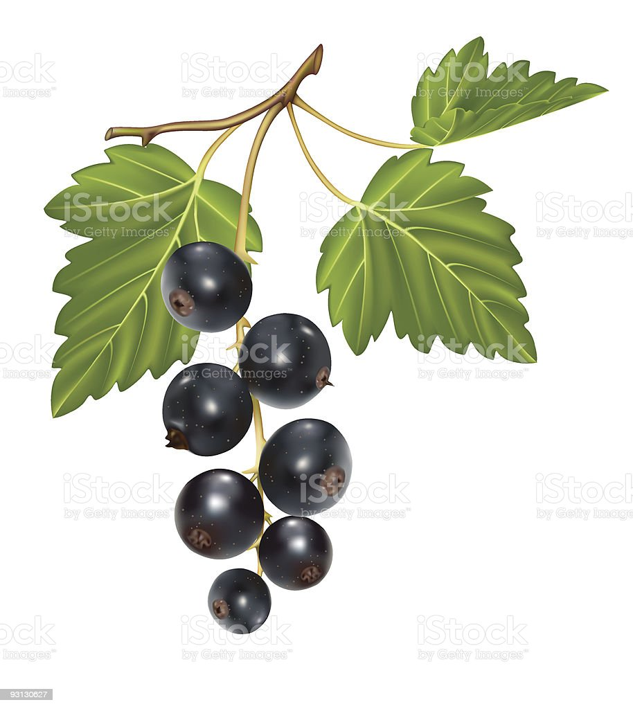 Black currant cluster with green leaf. royalty-free stock vector art