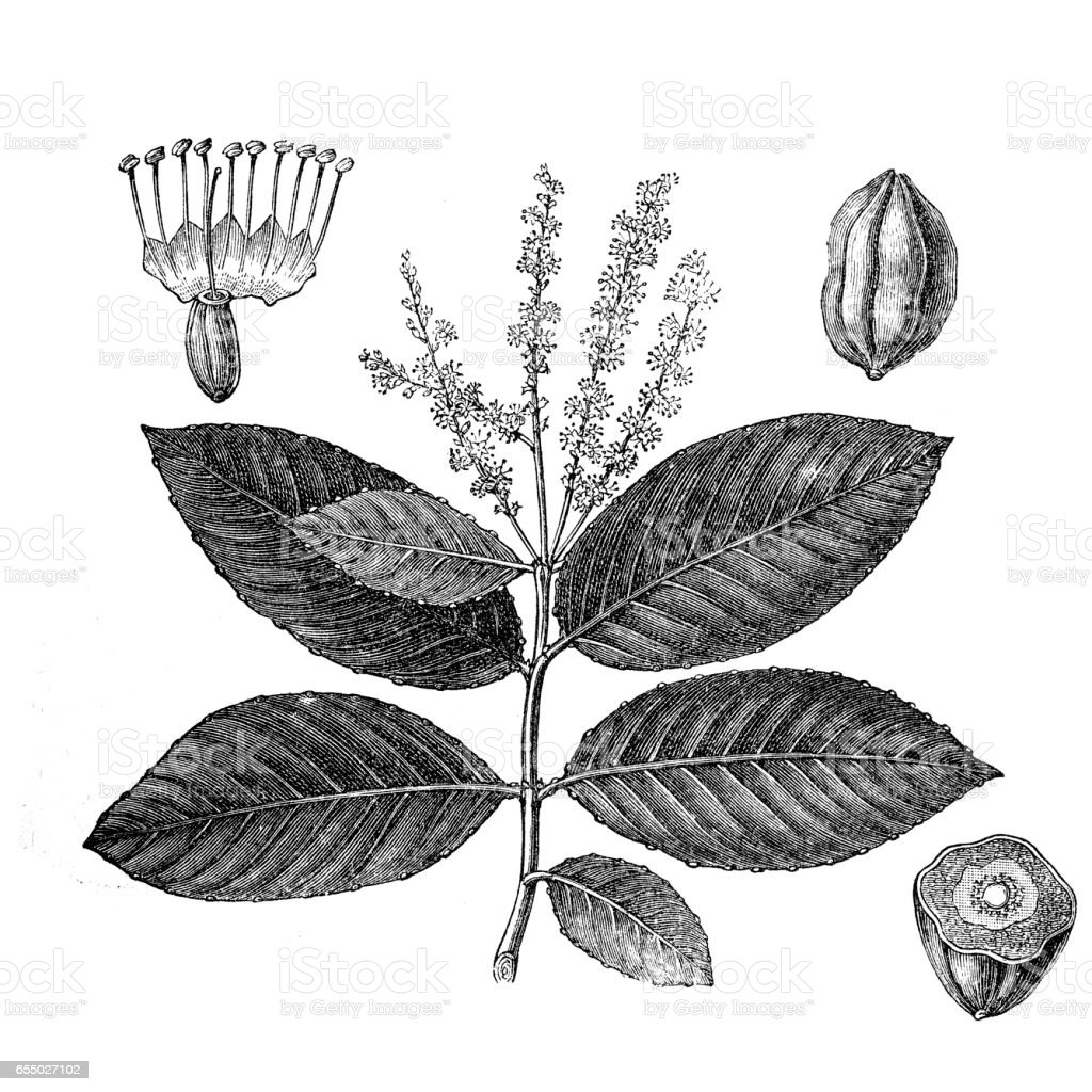 Black- or chebulic myrobalan (Terminalia chebula) vector art illustration