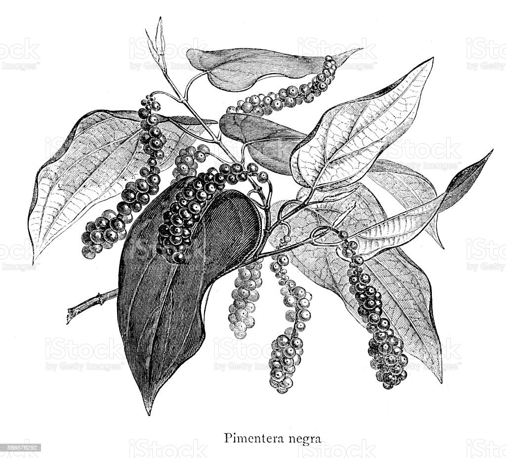 Black Pepper engraving isolated on white stock photo