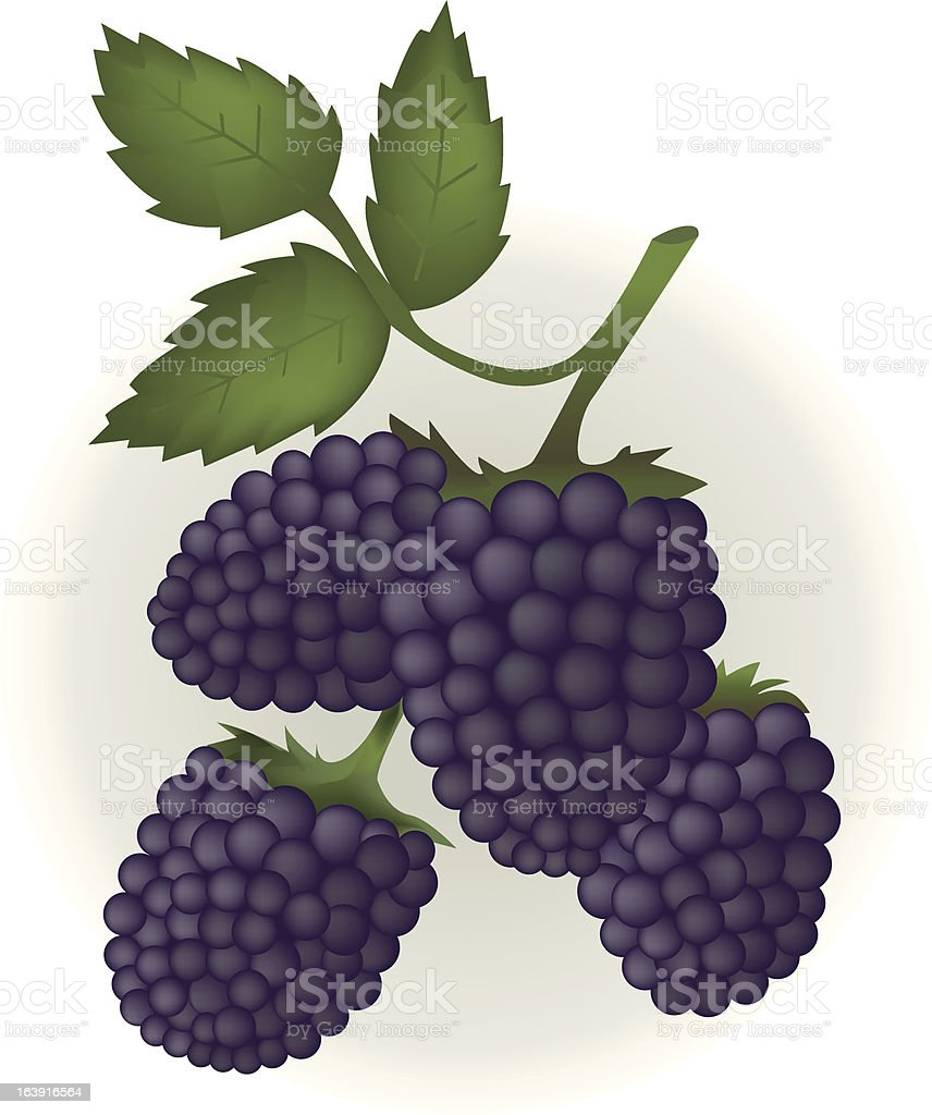 Blackberries with leaf. royalty-free stock vector art