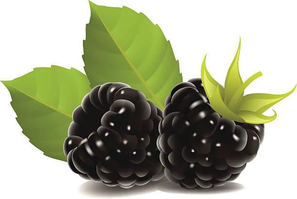 blackberry fruit clipart - photo #8