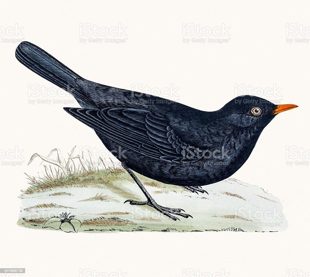 Blackbird or True thrush vector art illustration